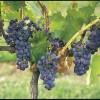 Grapes, Hunter Valley