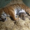 Kaitlyn tiger cub birth AustraliaZoo SC
