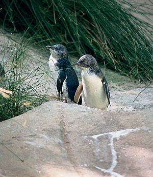 Penguins on Granite Island