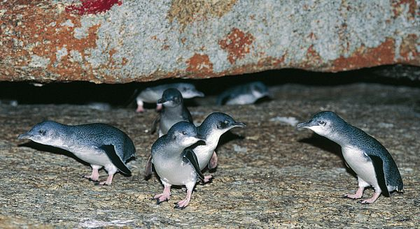 Little penguins (Eudyptula minor)