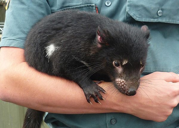 Tasmanian devil (Sarcophilus harrisii) - Zoodoo Wildlife Park