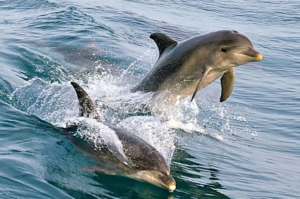 Dolphins in Port Phillip Bay