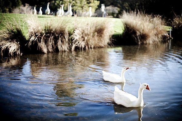 Geese on Lake Daylesford