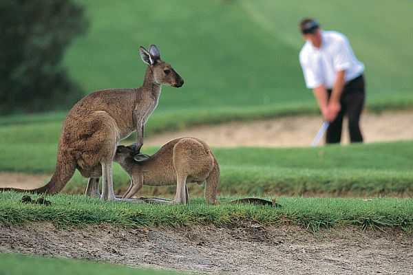 Kangaroos and golfer at The Vines Resort in the Swan Valley