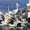 Pelicans, Tuncurry, Great Lakes