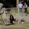 Rhinoceros at Western Plains zoo