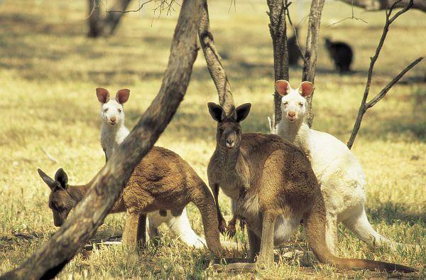 Albino Kangaroos at Wildlife Park