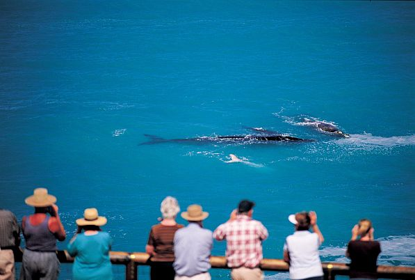 Whale Watching, Head of Bight
