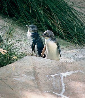 Penguins on Granite Island