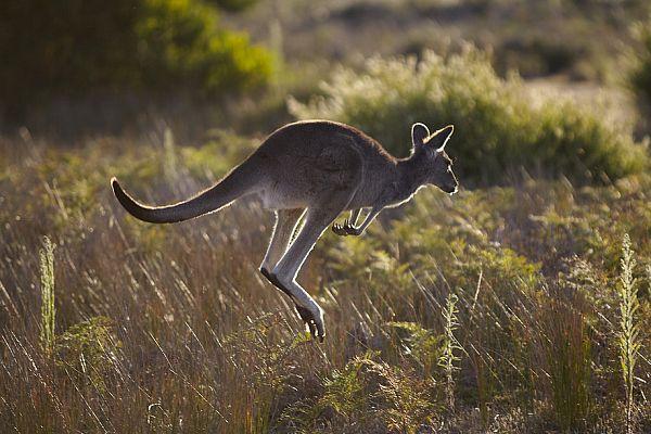 Kangaroo at Wilsons Promontory