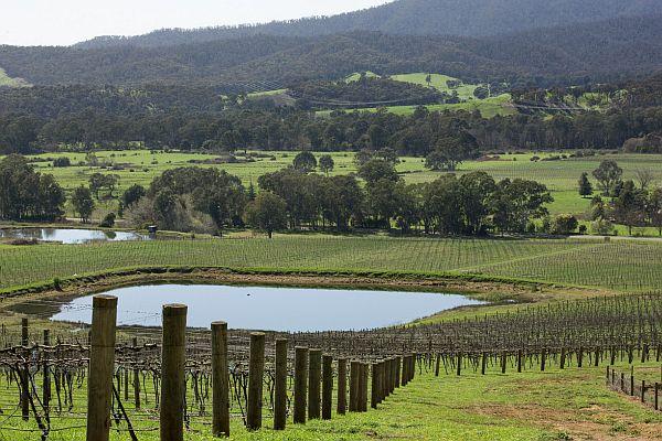 Vineyard - King Valley
