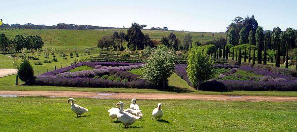 Lavandula Swiss Italian Farm