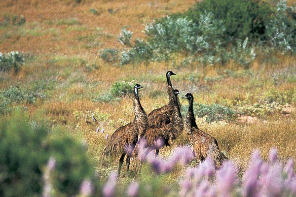 Emus in the Cape Range National Park